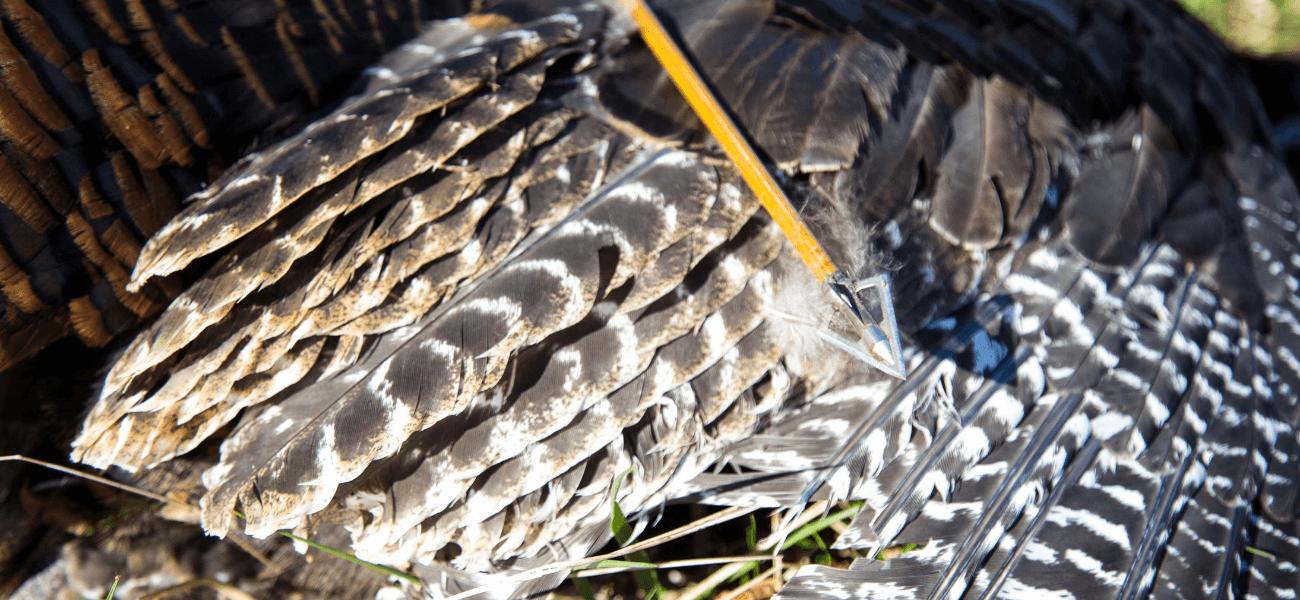 Turkey wing and Wasp Broadhead