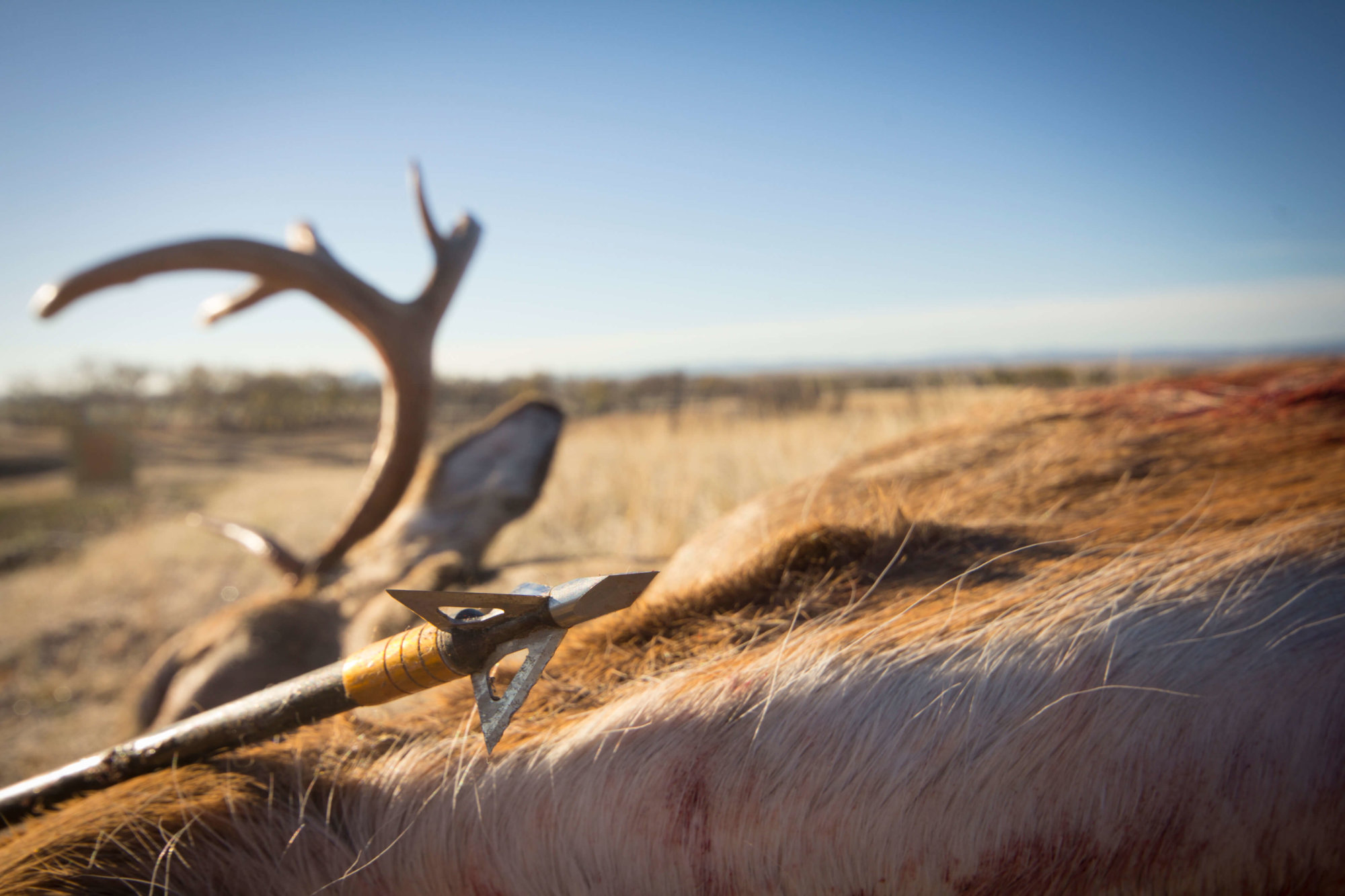 Where to shoot a white tail