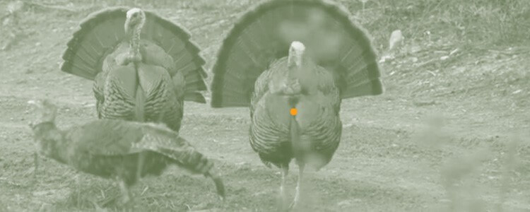 Bow hunting turkey shot placement