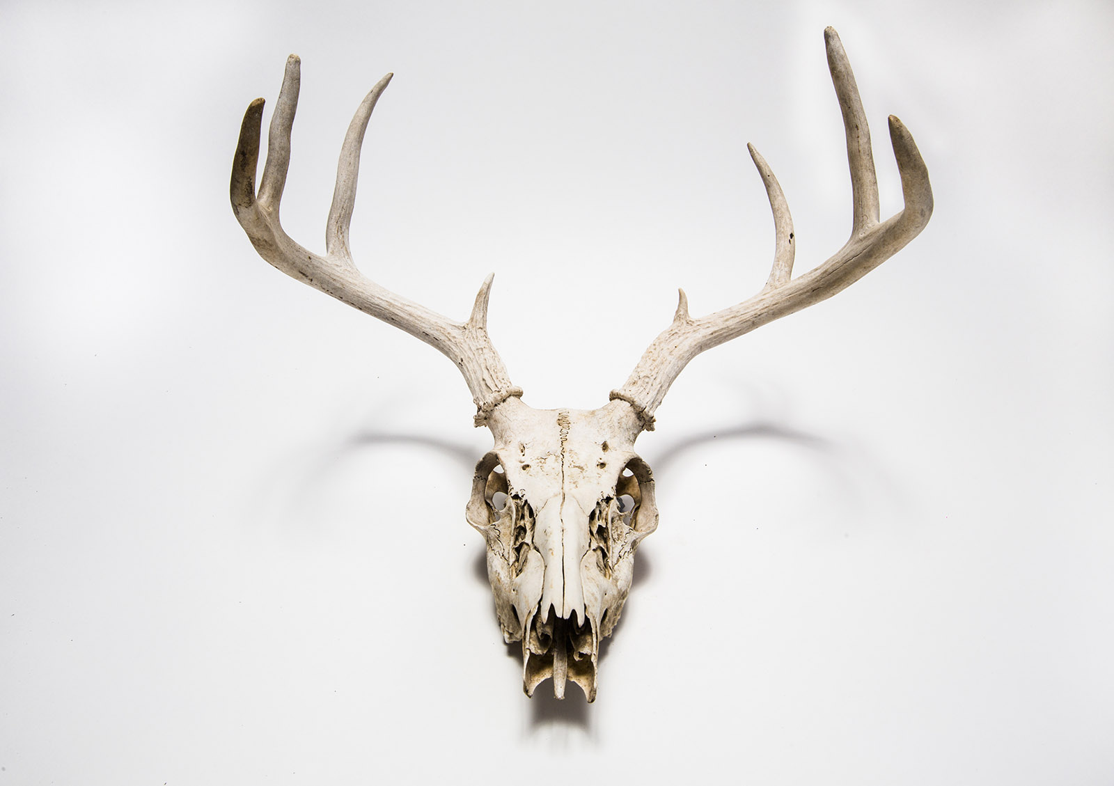 Deer skull hanging on white wall