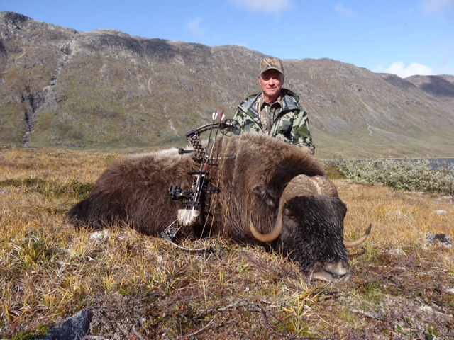 Greenland Musk Ox